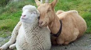 Какие животные пригодны для совершения Курбан – жертвоприношения?