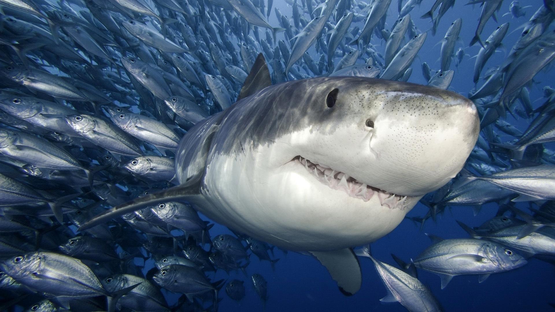 Разрешено ли есть акулье мясо?